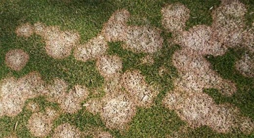 snowmold image example for iowa lawns
