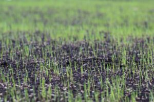 Seeding grass growing with UltraLawn